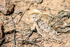 沙漠有角的蜥蜴在亚利桑那 免版税库存照片