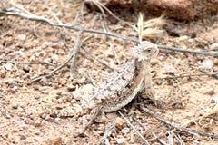 沙漠有角的蜥蜴在亚利桑那 库存照片
