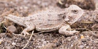沙漠有角的蜥蜴(Phrynosoma platyrhinos)是种类o 免版税库存图片