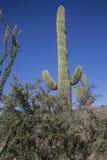 沙漠柱仙人掌,斯科茨代尔 库存图片