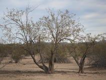 沙漠树&西南亚利桑那的石炭酸灌木 图库摄影