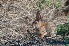 沙漠棉尾兔 库存图片