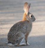 沙漠棉尾巴兔子北美洲兔类audubonii 图库摄影