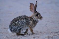沙漠棉尾巴兔子 库存照片