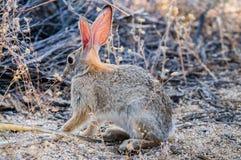 沙漠棉尾巴兔子 图库摄影