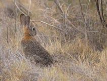 沙漠棉尾巴兔子 免版税库存图片