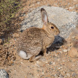 沙漠棉尾巴兔子 库存图片