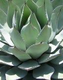 沙漠植物丝兰 免版税库存照片