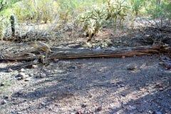 沙漠植物园菲尼斯亚利桑那 库存照片
