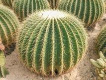 沙漠植物群在xianghu植物园里 免版税库存照片