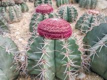 沙漠植物群在xianghu植物园里 免版税库存图片