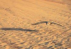 沙漠欧洲产之大雕 库存照片