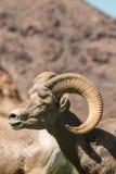 沙漠比格霍恩Ram画象 库存图片