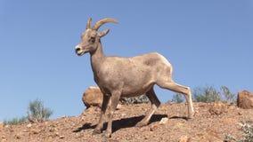 年轻沙漠比格霍恩Ram 免版税库存照片