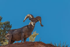 沙漠比格霍恩Ram 库存照片