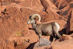 年轻沙漠比格霍恩Ram 库存图片