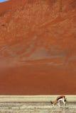 沙漠沙丘前纳米比亚红色跳羚 库存照片