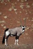 沙漠沙丘大羚羊namib羚羊属红色 库存照片
