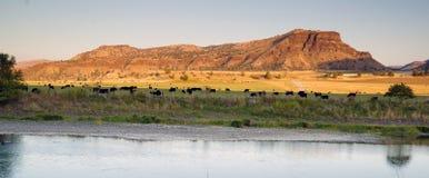 沙漠河大农场黑色安格斯牛家畜 库存图片
