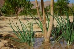 沙漠灌溉 库存图片