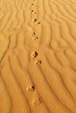 沙漠狐狸踪影在沙子的 库存图片