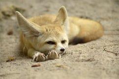 沙漠狐狸 库存照片