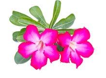 沙漠玫瑰或砰紫葳藤 免版税库存照片