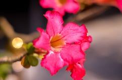 沙漠玫瑰美丽的花在庭院,在灌木的桃红色颜色里 图库摄影