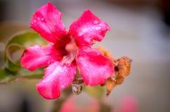 沙漠玫瑰美丽的花在庭院,在灌木的桃红色颜色里 免版税库存图片