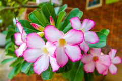 沙漠玫瑰色杜娟花花-泰国 库存照片