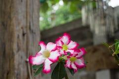 沙漠玫瑰色植物有迷离树背景 库存照片