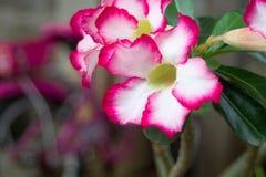 沙漠玫瑰色植物 免版税图库摄影