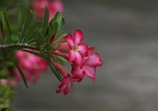 沙漠玫瑰色花侧视图 免版税图库摄影