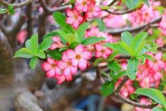 沙漠玫瑰色花背景 免版税库存图片