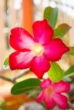 沙漠玫瑰色花 免版税库存图片