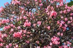 沙漠玫瑰色花 库存照片