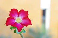 沙漠玫瑰色花 库存图片