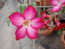 沙漠玫瑰,假装杜娟花, Pinkbignonia,飞羚百合 免版税库存照片