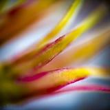 沙漠的花萼上升了 库存图片