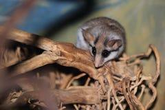 沙漠睡鼠 库存图片