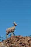 沙漠站立在岩石的大角野绵羊 免版税库存图片