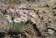 沙漠翠菊在东华盛顿 库存图片