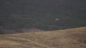 沙漠老鹰飞行在小山食肉动物的寻找的美丽的自然射击的一点中 影视素材