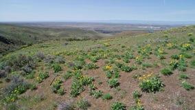 沙漠花在小山的春天开花在爱达荷 影视素材