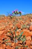 沙漠花小的蝎子杂草 库存图片