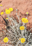 沙漠花 免版税图库摄影