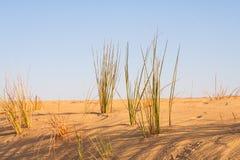 沙漠草在撒哈拉大沙漠 免版税库存照片