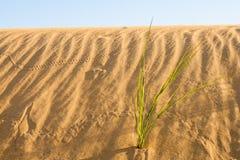 沙漠草在撒哈拉大沙漠 免版税库存图片