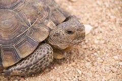 沙漠莫哈韦沙漠草龟 图库摄影