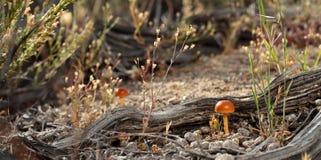 沙漠蘑菇 免版税图库摄影